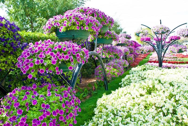 Цветы в саду петуния